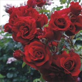 Růže amadeus