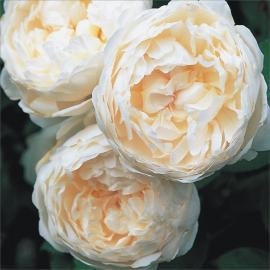 Velkokvětá růže GLAMIS CASTLE