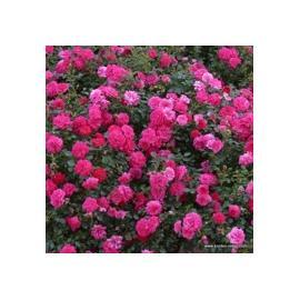 Půdopokryvná růže KNIRPS