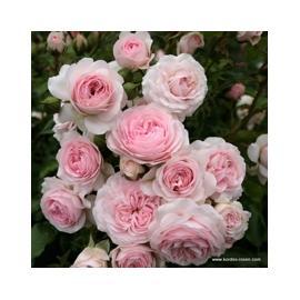 Mnohokvětá růže LARISSA