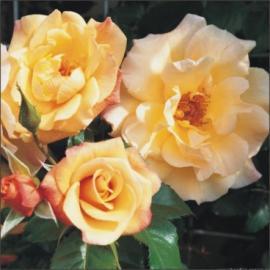 Pnoucí růže MOONLIGHT