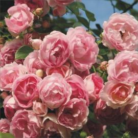 Pnoucí růže JASMINA