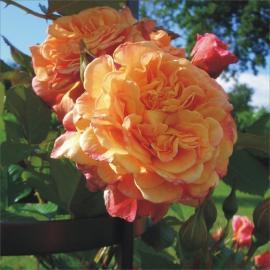 Pnoucí růže ALOHA