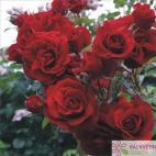 Pnoucí růže AMADEUS