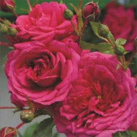 Pnoucí růže LAGUNA