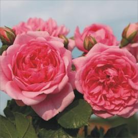 Pnoucí růže SWEET LAGUNA
