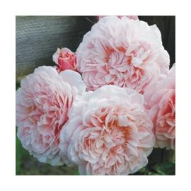 Pnoucí růže ROSE DE TOLBIAC
