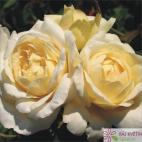 Velkokvětá růže LA PERLA