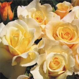 Velkokvětá růže SUNNY SKY