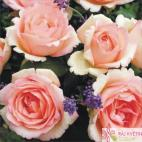 Velkokvětá růže SOUVENIR DE BADEN BADEN