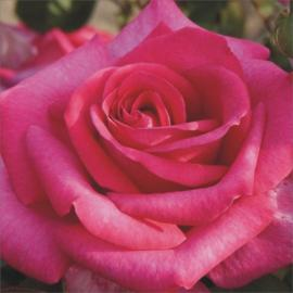 Velkokvětá růže PAROLE