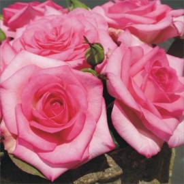 Velkokvětá růže BEVERLY