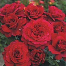 Velkokvětá růže BELLEVUE