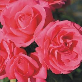 Velkokvětá růže CHERRY LADY
