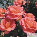 Velkokvětá růže FAIREST CAPE