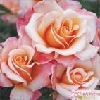 Velkokvětá růže OH HAPPY DAY