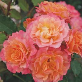 Sadová růže LANDLUST