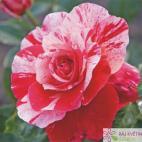 Mnohokvětá růže ABRACADABRA