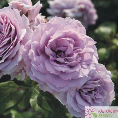 Mnohokvětá růže NOVALIS