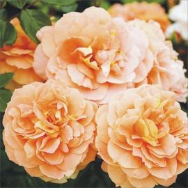 Mnohokvětá růže SCHÖNE VOM SEE