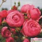 Mnohokvětá růže POMPONELLA