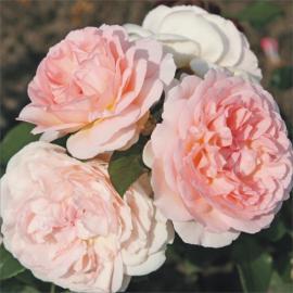 Mnohokvětá růže MÄRCHENZAUBER