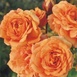 Mnohokvětá růže BENTHEIMER GOLD