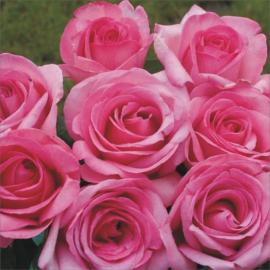 Velkokvětá růže SWEET PAROLE