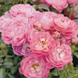 Miniaturní růže CHARMANT