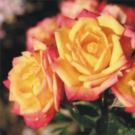 Miniaturní růže LITTLE SUNSET