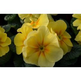 Primule žlutá
