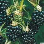 Ostružina Thornless Evergreen