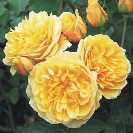 Sadová růže GRAHAM THOMAS