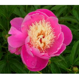 Paeonia lactiflora Bowl of Beauty - pivoňka čínská
