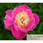 Paeonia lactiflora Bowl of Beauty - pivoňka čínská