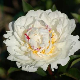 Paeonia lactiflora Boule de Neige - pivoňka čínská