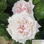 Velkokvětá růže MADAME ANISETTE