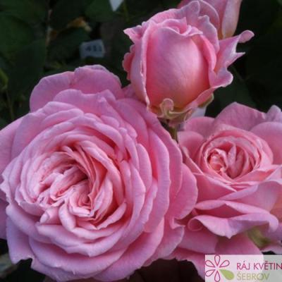 Mnohokvětá růže ROSENGRÄFIN MARIE HENRIETTE
