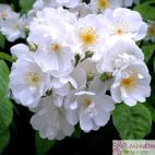 Pnoucí růže BOBBIE JAMES