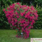 Pnoucí růže SUPER EXCELSA