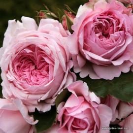 Sadová růže ALEXANDRA PRINCESSE DE LUXEMBOURG