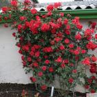 Sadová růže BRILLANT KORSAR