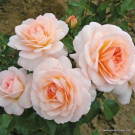 Sadová růže SCHLOSS EUTIN