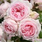 Sadová růže WELLENSPIEL