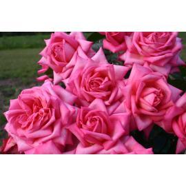 Velkokvětá růže WEDDING BELLS