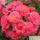 Mnohokvětá růže BAD BIRNBACH