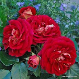 Mnohokvětá růže DIE SEHENSWERTE