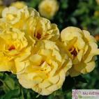 Mnohokvětá růže FRIESIA