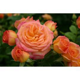 Mnohokvětá růže GARTENSPASS