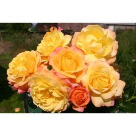 Mnohokvětá růže ROSE DER HOFFNUNG